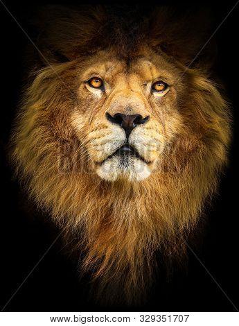 Lion. Symbol Might. Portrait Lion. Detail Face Lion. Photo From Animal Live. Lion With Black Backgro