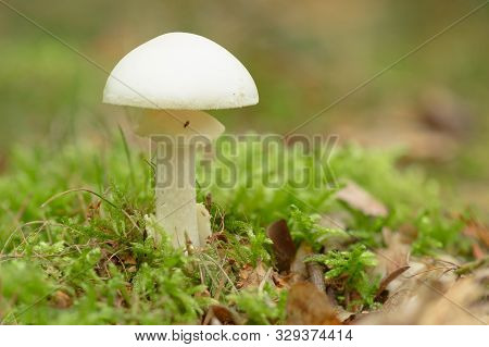 Amanita Phalloides - The Death Cap, Is A Deadly Poisonous Basidiomycete Fungus, One Of Many In The G