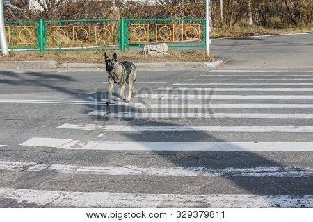 Vagrant Dog Crossing The Road On The Crosswalk Alone. Errant Canine Animal On The Street Observing R