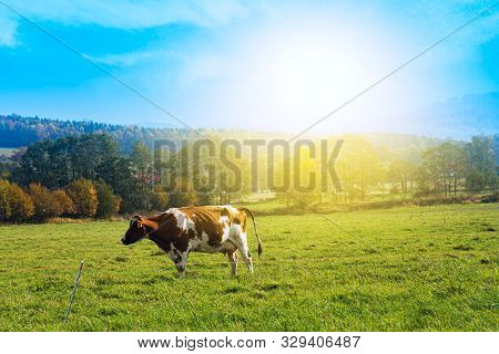 Herd Of Cows At Summer Green Field  .