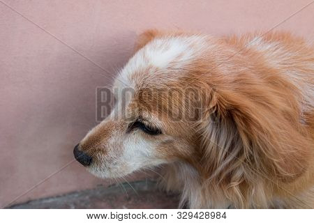 Red Dog Is Sitting Near A Wall. Closeup Of A Mix Breed Puppy Dog Or Mongrel Mutt. Homeless Lonely An
