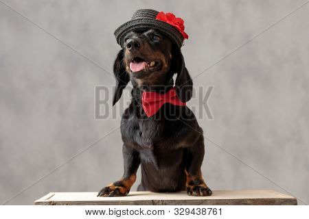 cute teckel puppy dog with hat and red bowtie sitting and panting against gray studio background
