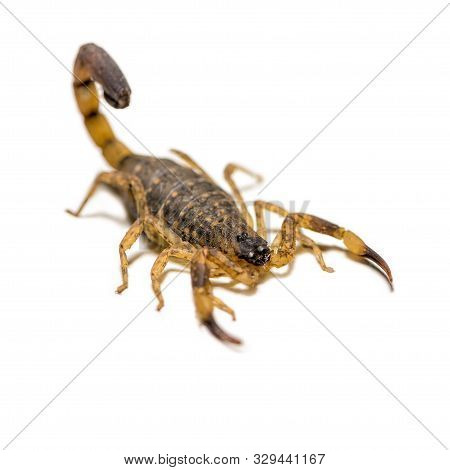 Close up macro yellow or brown Scorpion in front on white background, Small animal is poisonous reptile in the tail for sting to hunt prey or self protection can be seen in the tropic poster