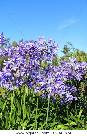 Beautiful Blue Alium blossom against blue sky