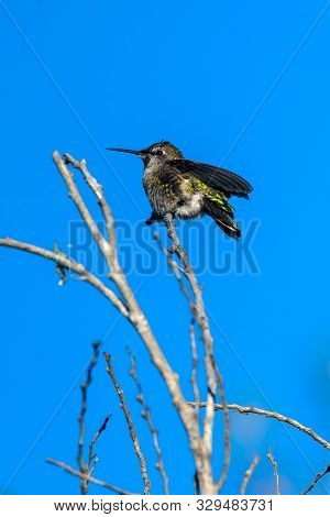 Shiny Feathers Of Rufus Hummingbird Glow In The Morning Sunshine As He Spread His Wings In The Wind.