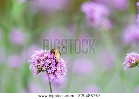 Verbena Bonariensis With Honey Bee Getting Nectar From Pollination Process (argentinian Vervain Or P