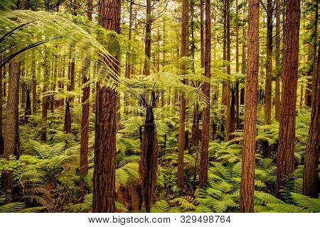 Thick Lush Canopy Of The Tall Redwoods Of Whakarewarewa Forest In Rotorua New Zealand