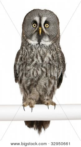 Portrait of Great Grey Owl or Lapland Owl, Strix nebulosa, a very large owl, perching in front of white background