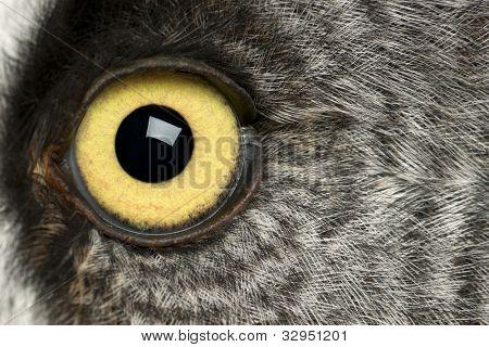 Portrait of Great Grey Owl or Lapland Owl, Strix nebulosa, a very large owl, eye