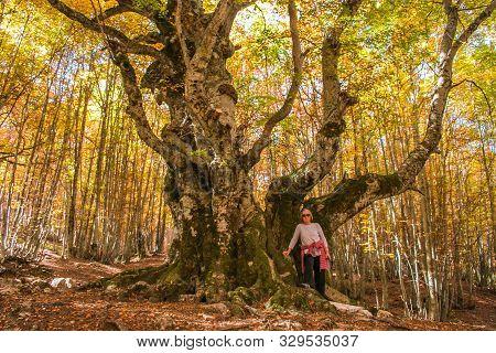 Passo Godi, Abruzzo - October 23, 2019: The Beech Of The Pontone (faggio Del Pontone): 600 Years Of
