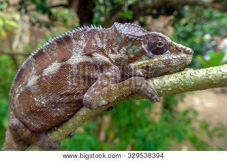 Malagasy Giant Chameleon / Furcifer Oustaleti, Wild Nature. Madagascar