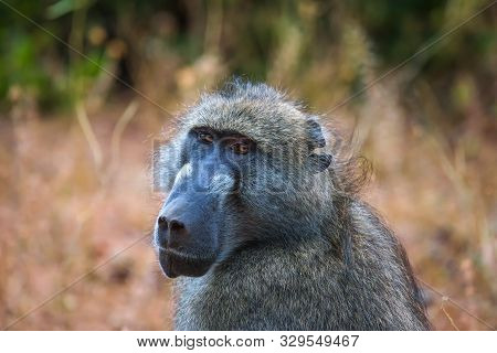 Portrait Of A Chacma Baboon Monkey In The Chobe National Park, Botswana.