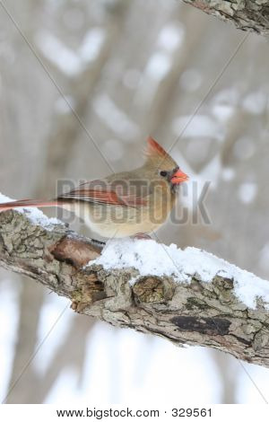 close-up photo of a female cardinal bird sitting on a snowy branch in the woods. poster