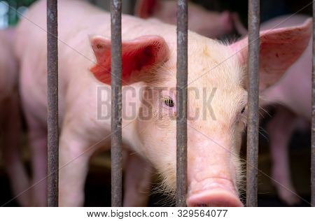 Cute Piglet In Farm. Sad And Healthy Small Pig. Livestock Farming. Meat Industry. Animal Meat Market