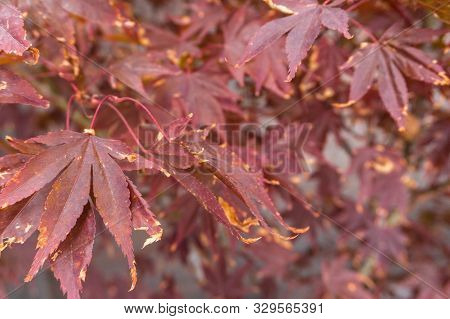 Close-up Of Bright Red Japanese Maple Or Acer Palmatum Leaves On The Garden