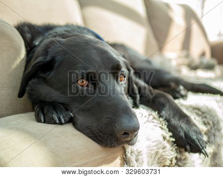 Lazy Sleepy Black Dog Laying On Sofa Couch In The Sun
