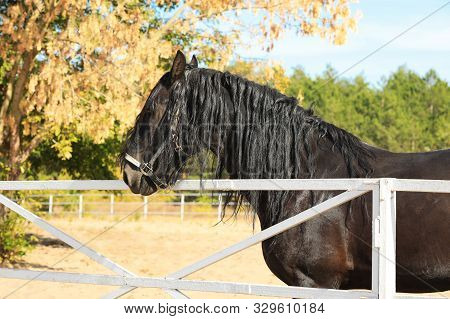 Beautiful Friesian Horse At White Fence Outdoors