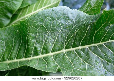 Horseradish Leaves Close-up. Green Leaf Of Horseradish With Drops Of Water And White Veins