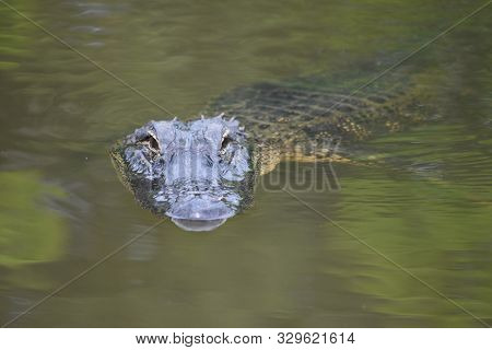 An Alligator Swimming In Green Waters Of South Louisiana.