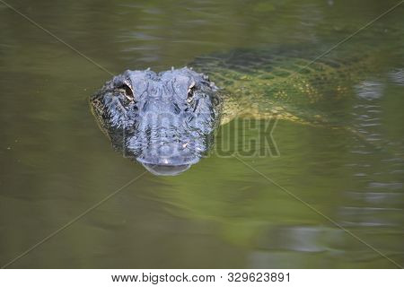 Green Murky Water With A Gator In The Swamp.