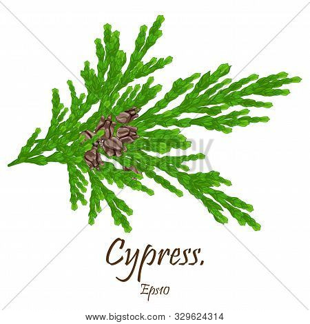Cypress Leaf Isolated On White Background. Cypress Leaf Trendy And Modern Symbol For Graphic And Web