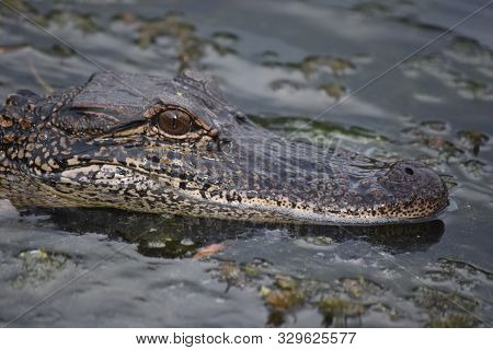 Looking Close Up Directly Into The Face Of An Alligator.