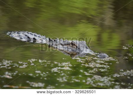 Southern Louisiana Bayou With A Stunning Alligator.