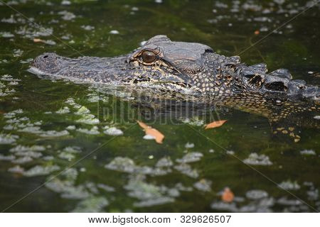 Swamp With A Stunning Look At An Alligator Close Up.