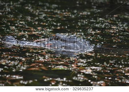 Gator With His Snout Above The Swampy Waters.
