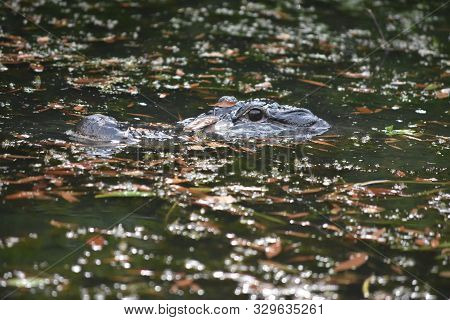 Alligator Surrounded By Debris And Leaves In The Water.