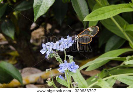 Glasswinged Butterfly (greta Oto), A Beautiful Transparent Winged Lepidoptera