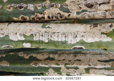 Cactus fungus