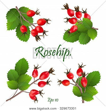 Rose Hips On Bush, Close Up.the Rose Hip Or Rosehip, Also Called Rose Haw, Is The Accessory Fruit Of