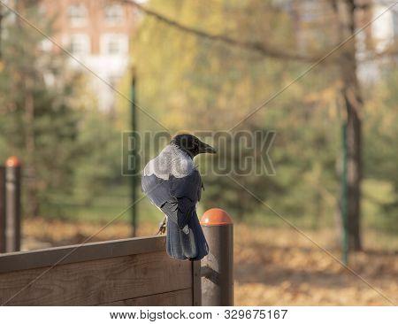 Cheeky Crow Sits On The Dog Playground.