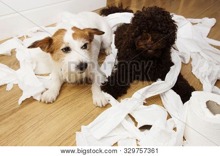 Dog Mischief. Jack Russell  And Puppy Poodle With Guilty Or Surprised Expression After Play To Bite