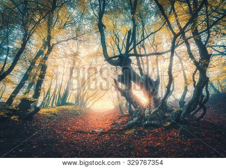 Old Forest In Fog At Sunset In Fall. Autumn Colors. Magical Old Trees With Sun Rays. Colorful Dreamy