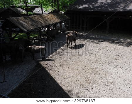 View to family of wild european bisons stand on sandy ground in enclosure at city of Pszczyna, Poland in 2018 warm sunny spring day on May. poster