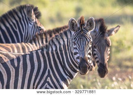 Common Zebras (equus Quagga) Looking At Camera In Bushveld Savanna Of Kruger National Park South Afr