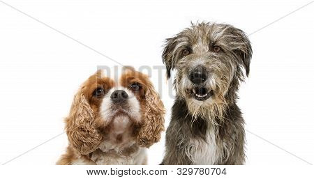 Portrait Group Two Dogs, Cavalier And Purebred Tramp Dog For Web Side. Isolated On White Background.
