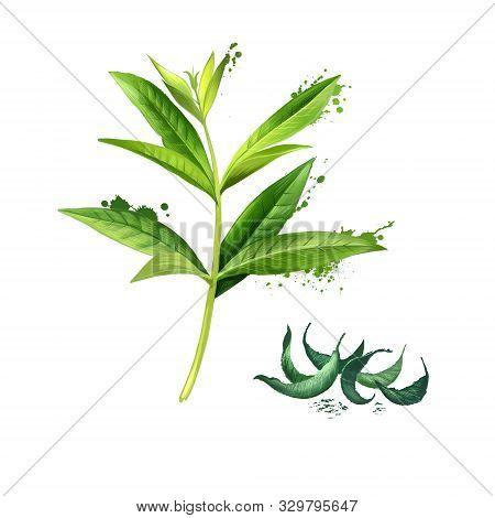 Lemon Verbena Fresh And Dried. Lemon Beebrush. Aloysia Citrodora Is A Species Of Flowering Plant In