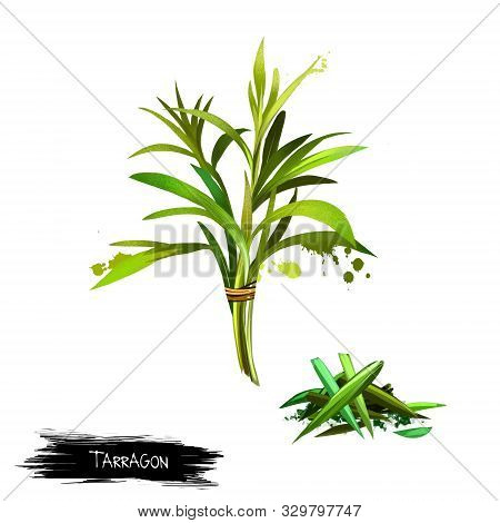 Tarragon Artemisia Dracunculus Isolated On White Background. Estragon. Cultivated For Culinary And M