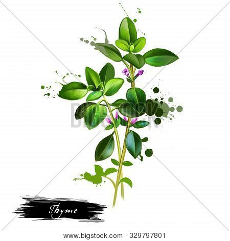 Fresh Thyme Isolated On White Background. Thymus Vulgaris. Active Ingredient In Thyme Oil. Evergreen