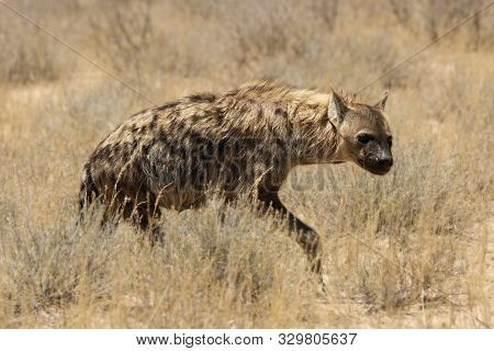 Lonely Spotted Hyena (crocuta Crocuta) (laughing Hyena) Giving A Look And Going Across Parched Grass