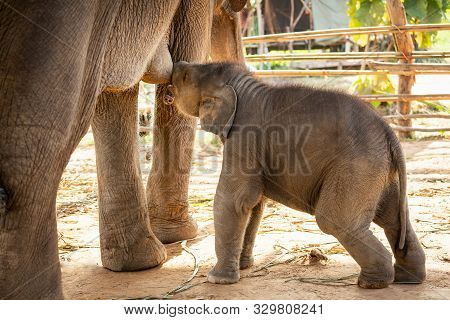 Newly born baby asian elephant drink milk mother for grow up Mischievous That is cute in Surin Thailand poster