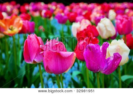 Colorful tulip flowers in a sunny green spring park