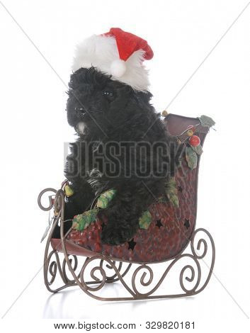 8 week old male bouvier des flandres puppy riding in santa's sleigh  on white background