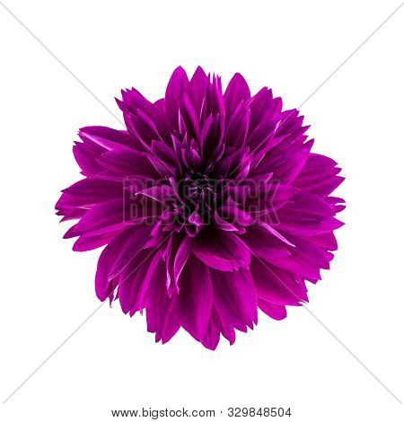 Dahlia Flower.  Flower Head Of Purple Dahlia Flower Isolated On White