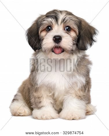Beautiful Smiling Little Havanese Puppy Dog Is Sitting Frontal And Looking At Camera - Isolated On W