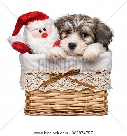 Cute Bichon Havanese Puppy Dog In A Basket With A Little Santa Claus Plush Toy - Isolated On White B
