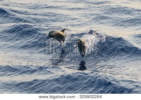 Two Wild Bootlenose Dolphins Jumping In The Sea Surface